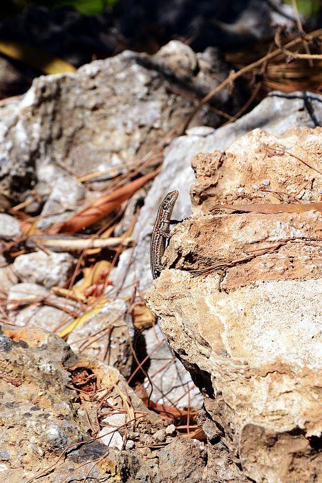 Jaszczurka wAgia Irini Gorge.