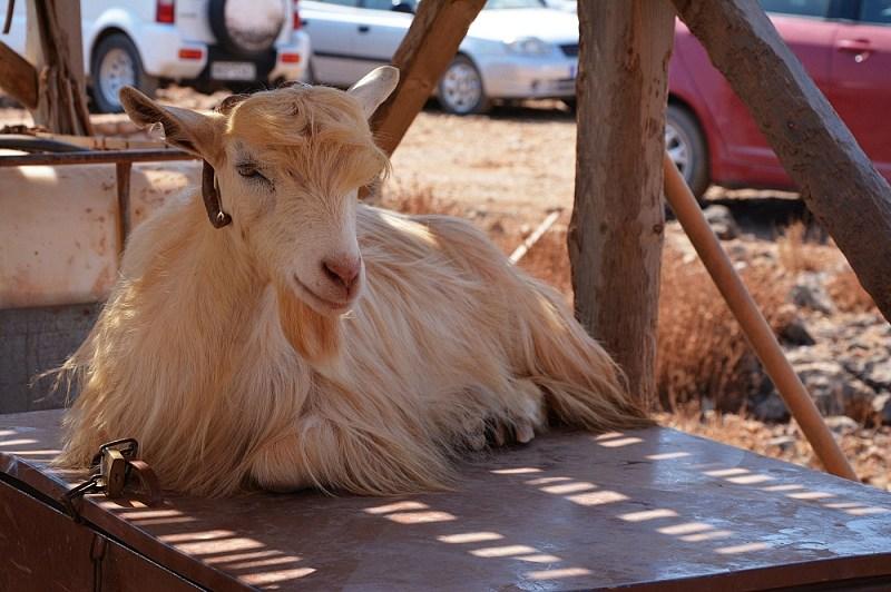 Koza kri kri naparkingu przedlaguną Balos.