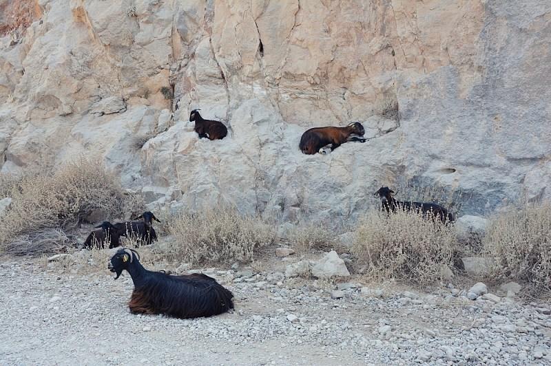 Odpoczywające wcieniu kozy kri kri przy drodze nalagunę Balos.