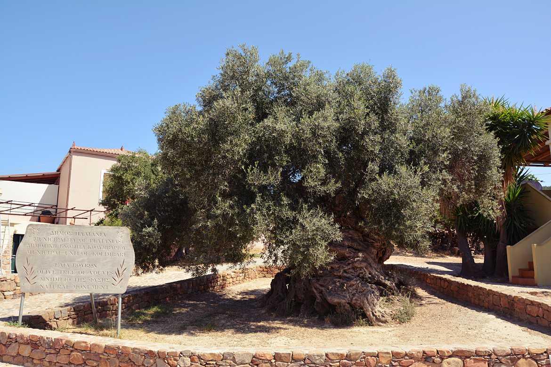 najstarsze drzewo oliwne vouves